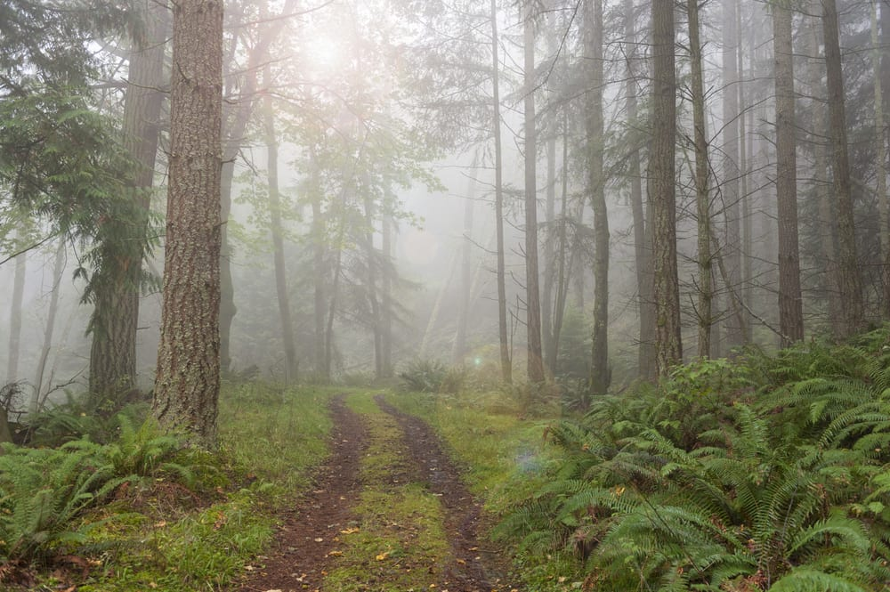 Foggy pathway in a forest